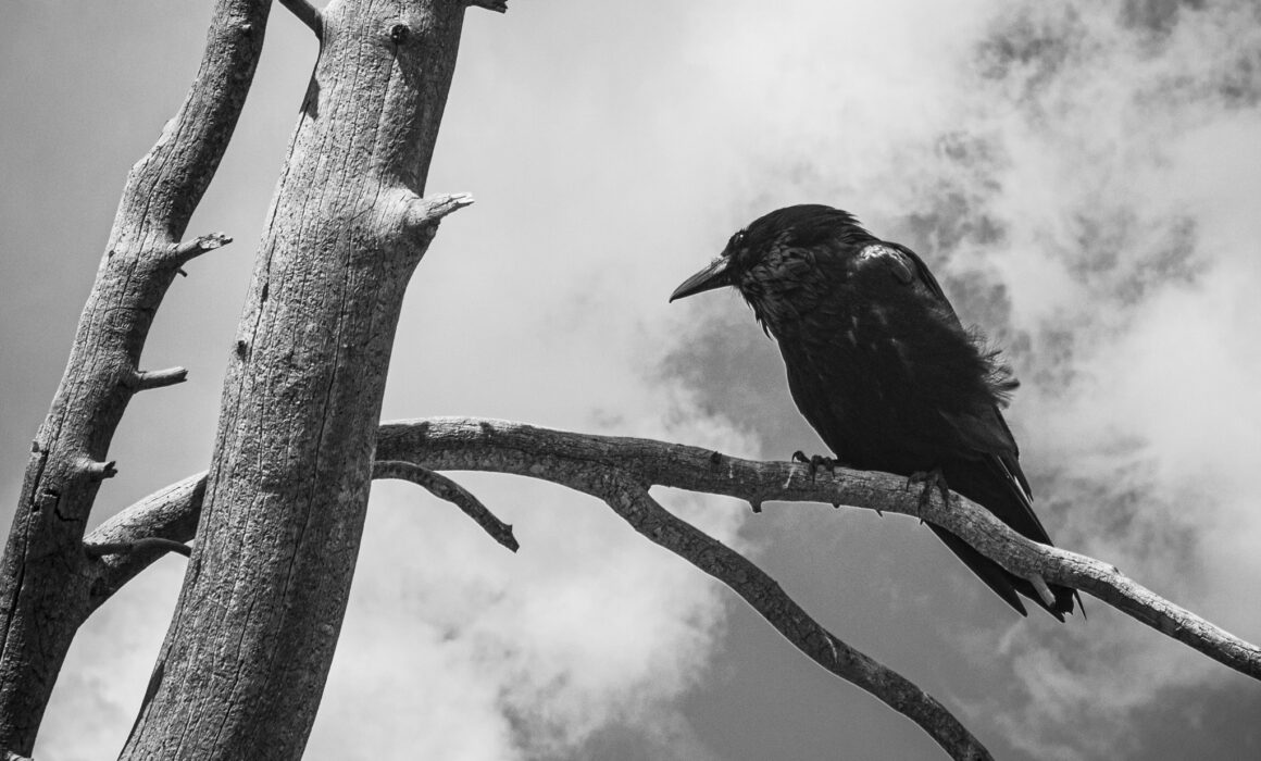 A black in white photo of a crow in Yellowstone National Park